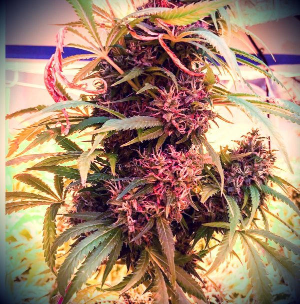 Michigan's cannabis